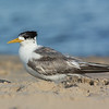 Tern, The Broadwater, Gold Coast