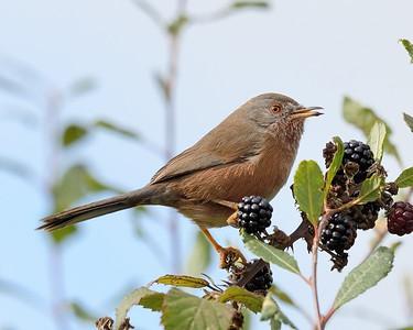 Dartford Warbler feeding on Blackberries 4