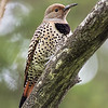 Female Northern Flicker (Red-shafted)
