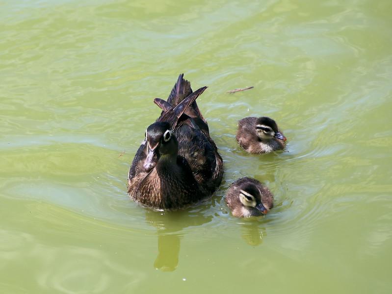 Mama Duck and babies.jpg