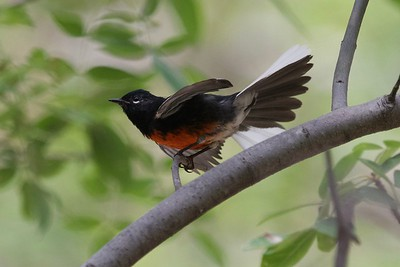 Painted Redstart (Myioborus pictus)