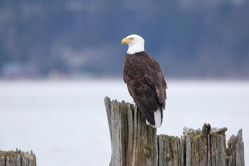 Sammish Eagle
