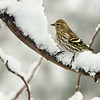 Pine Siskin on Snowy Branch