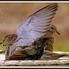 Bathing Starling Provides Shower for Dove's Under Wing