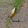 Western Or Eastern Meadowlark View 3