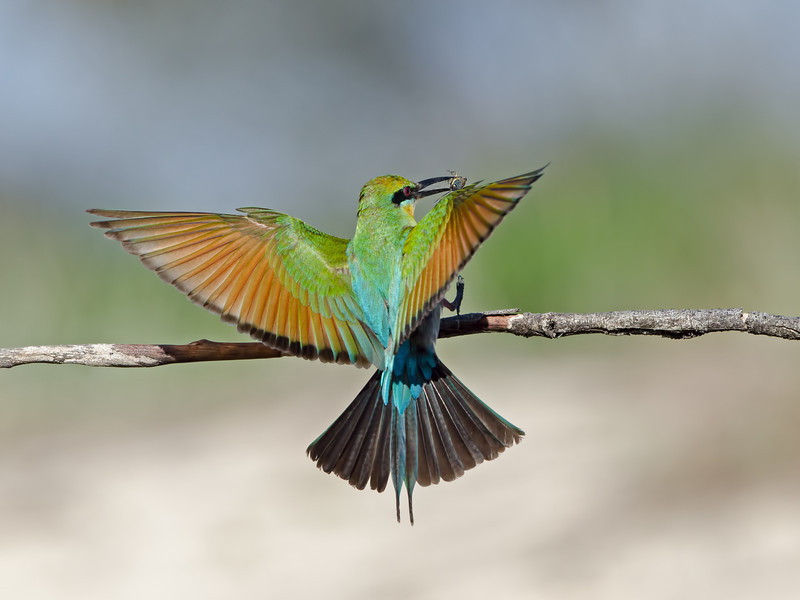 Rainbow Bee-eater Landing, Federation Walk, Gold Coast, Queensland.