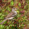 Passer domesticus – House sparrow 9
