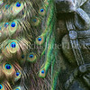 Pavo cristatus –Peacock tail on statue
