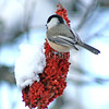 Poecile atricapillus – Black capped chickadee on sumac fruit 1