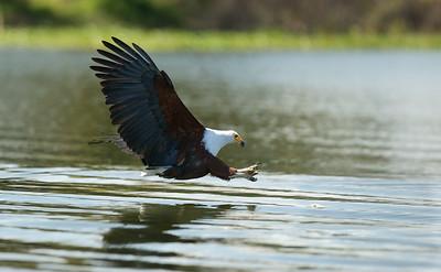 African Fish Eagle of Kenya