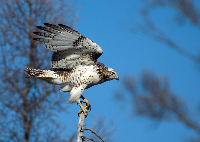 Red-tailed Hawk - Manitoba