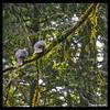 Band-tailed Pigeons—Patagioenas fasciatas