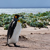 King Penguin    Falklands