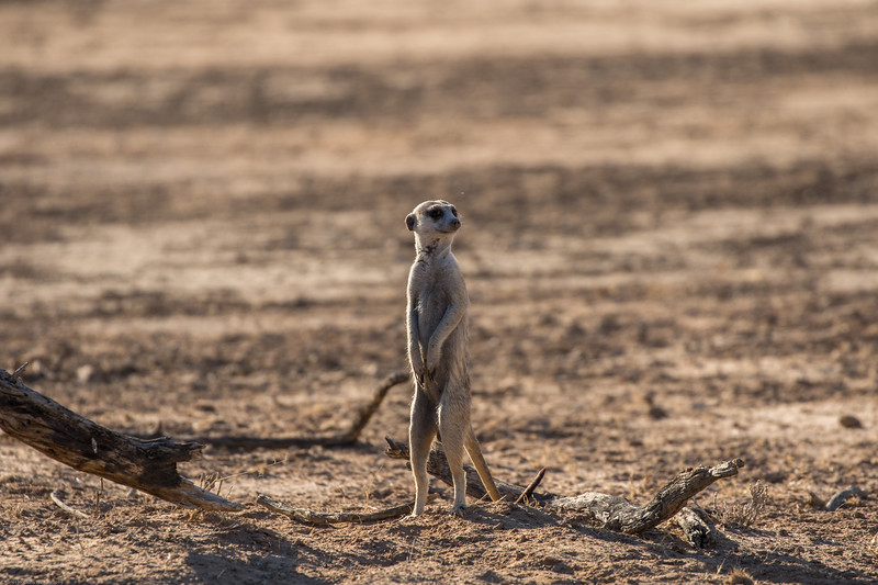 Suricate on sentry duty
