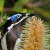 Blue-faced Honeyeater,<br /> Narrowneck, Gold Coast.<br /> Qld.