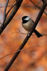 Chickadee Among Fall Colors