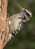 Male Hairy Woodpecker in Minnesota