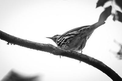 Black-and-white Warbler at the National Zoo