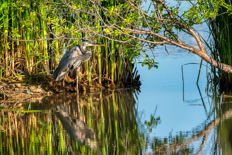 Heron Seeking Shade