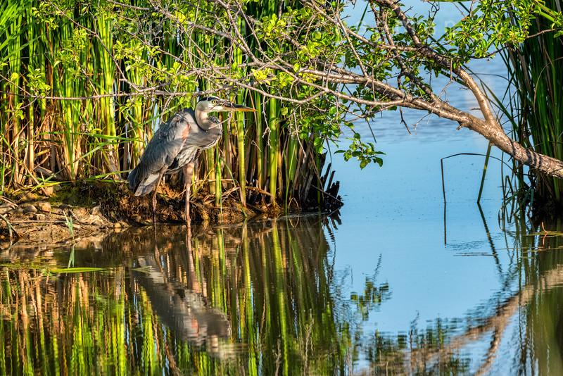 Heron Seeking Shade