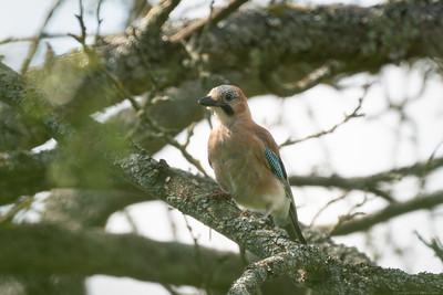 Jay through branches at Speen 2