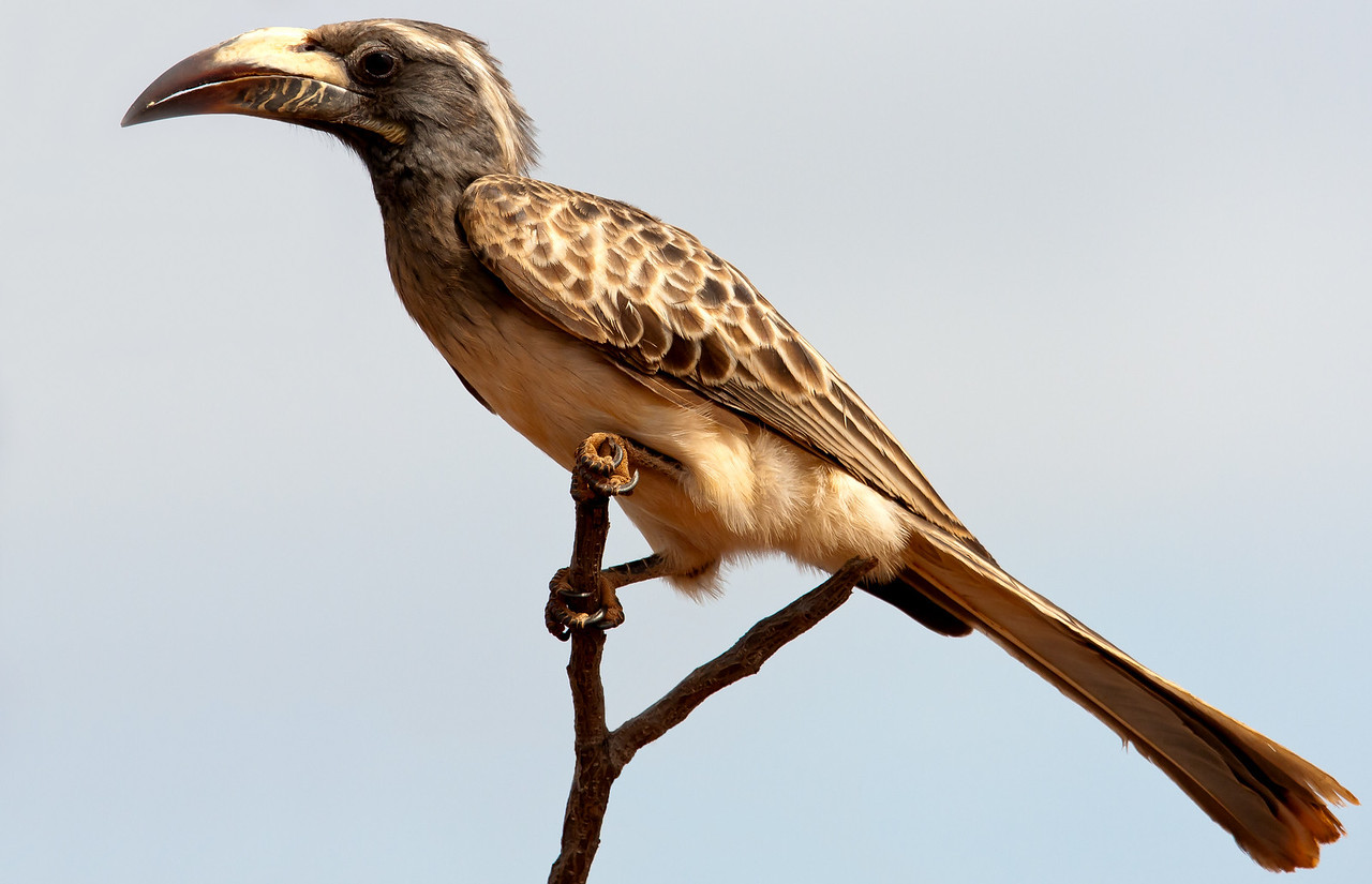 African Grey Hornbill (Tockus nasutus).