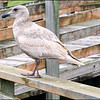 Immature Western Gull ~ Larus occidentalis