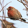 Male House Finch #2 View 2