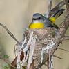 Eastern Yellow Robin (Eopsaltria australis) on nest