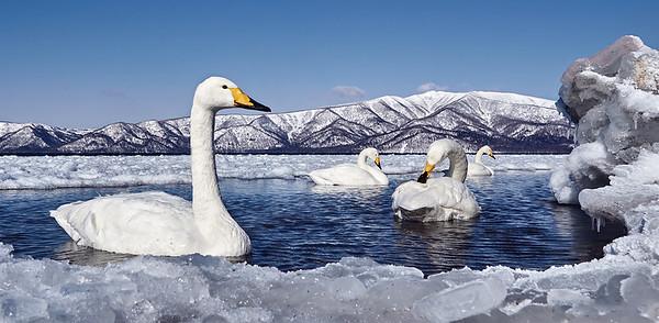 Whooper Swan, Lake Kussharo, Hokkaido, Japan