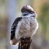 Laughing Kookaburra,fledgling_077