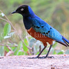 Lamprotornis superbus – Superb starling