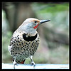 Northern (red-shafted) Male Flicker