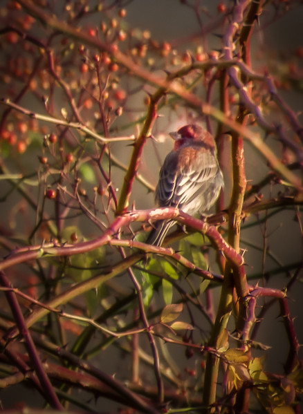 House Finch in Hiding