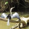 Anhinga anhinga – Snakebird 3