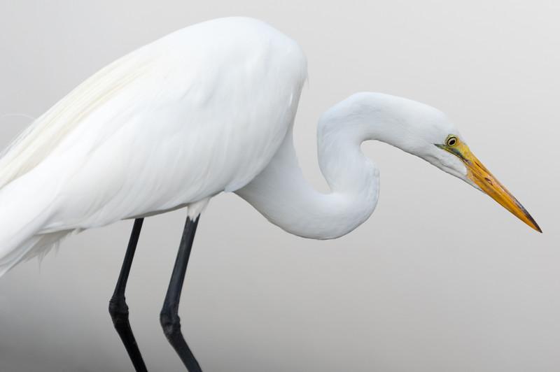 White on White / Great Egret.
