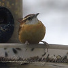 Well Fed Carolina Wren