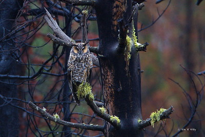 Great Horned Owl in Burnt Forest