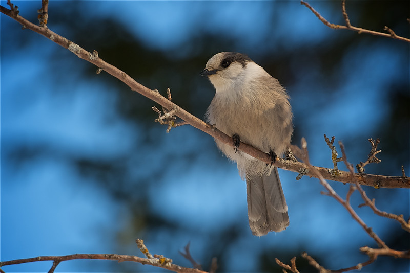 One of my favourite birds - Whiskey Jack (Grey Jay)