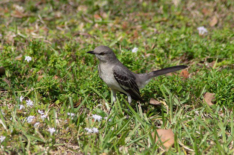Mockingbird w/Attitude