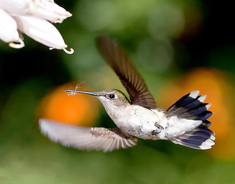 Hummingbird with Web, Torrington, CT