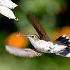 Hummingbird with Web, Torrington, CT