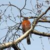 Turdus migratorius – American robin 7