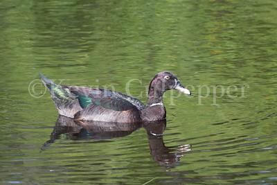 Duck at Graeme Hall Swamp