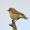 Chiffchaff at Freemans Marsh Hungerford Berkshire