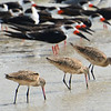 Marbled Godwit and Black Skimmers.