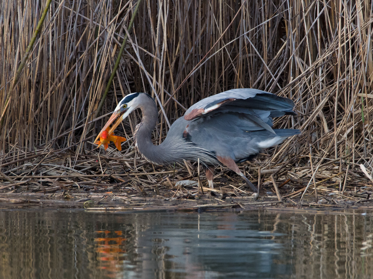 Hungry, hungry heron!