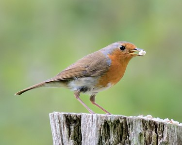 Robin at Greenham 13th June 2016