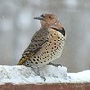 Female Northern Flicker