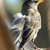 Bizarre American Robin With Aberrant Leucistic feathers View 5